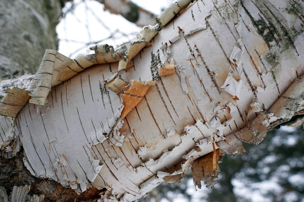 Why Does Birch Tree Bark Peel Off